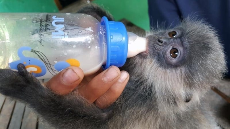 phnom tamao wildlife rescue centre – trying times…. Phnom Tamao Wildlife Rescue Centre – trying times…. Baby silvered langur 800x450