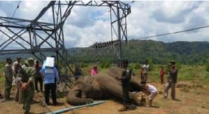 Intervention, a waste of time? Intervention, a waste of time? Elephant Electrocuted 300x163