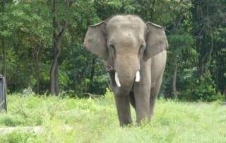 asian elephant sakor, a result of human-elephant conflict Asian Elephant Sakor, a result of human-elephant conflict Elephant bull human conflict 320x202