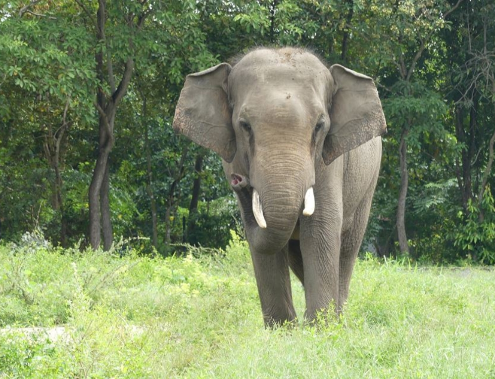 Asian Elephant Sakor, a result of human-elephant conflict