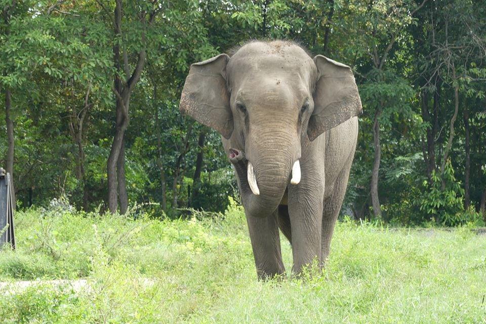 asian elephant sakor, a result of human-elephant conflict Asian Elephant Sakor, a result of human-elephant conflict Elephant bull human conflict