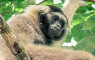 Angkor – sorting it out… Gibbon Wildlife Alliance 320x202