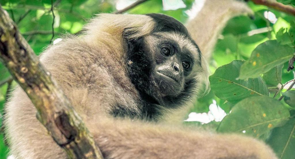 Angkor – sorting it out… Angkor – sorting it out… Gibbon Wildlife Alliance