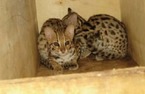 phnom tamao wildlife rescue centre – trying times…. Phnom Tamao Wildlife Rescue Centre – trying times…. Leopard cats taken for release 300x195