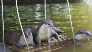 phnom tamao wildlife rescue centre – trying times…. Phnom Tamao Wildlife Rescue Centre – trying times…. Otter enrichment 300x171