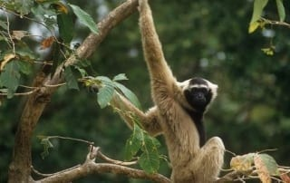 Angkor – another chapter starts… Pileated gibbons 1 320x202