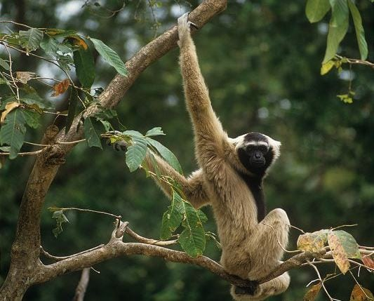 angkor – another chapter starts… Angkor – another chapter starts… Pileated gibbons 1