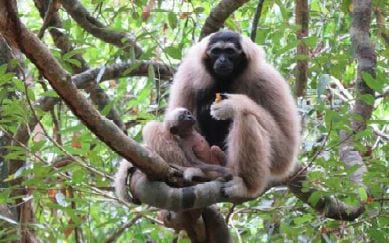 angkor – another chapter starts… Angkor – another chapter starts… Pileated gibbons Bayon
