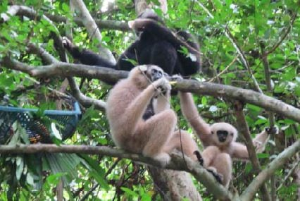angkor – another chapter starts… Angkor – another chapter starts… Pileated gibbons