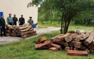 4 tonnes of luxury timber seized by wildlife alliance rangers 4 tonnes of luxury timber seized by Wildlife Alliance Rangers Pterocarpus macrocarpus Cambodia 320x202