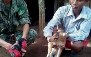 red muntjac saved by villager in chi phat Red Muntjac saved by villager in Chi Phat Red Muntjac Chi Phat 320x202
