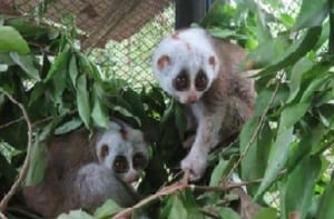 phnom tamao wildlife rescue centre – trying times…. Phnom Tamao Wildlife Rescue Centre – trying times…. Slow loris for release 300x197