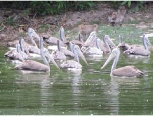 phnom tamao wildlife rescue centre – trying times…. Phnom Tamao Wildlife Rescue Centre – trying times…. Spot   billed pelicans at Lakeside 300x228