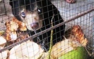 Sun bear cub being kept illegally Sun bear cub being kept illegally Sun Bear Rescue 320x202