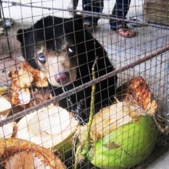 Sun bear cub being kept illegally Sun bear cub being kept illegally Sun Bear Rescue