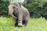 silly chhouk is having fun with his tire toy Silly Chhouk is having fun with his tire toy elephant Cambodia 200x134