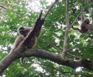 Angkor – sorting it out… Angkor – sorting it out… gibbon 300x249