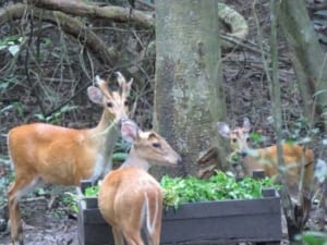 Angkor – sorting it out… Angkor – sorting it out… muntjac deer 300x225