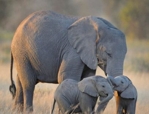 Tell the EU: ban ivory!