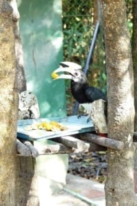 wildlife release station cambodia Wildlife Release Station Cambodia wildlife release station Cambodia great hornbill 200x300