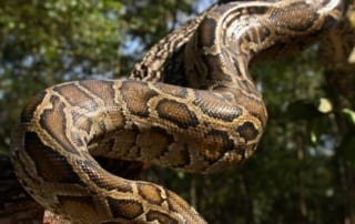 burmese pythons Did you know that Burmese Pythons are one of the biggest snakes in the world? Burmese Python 320x202