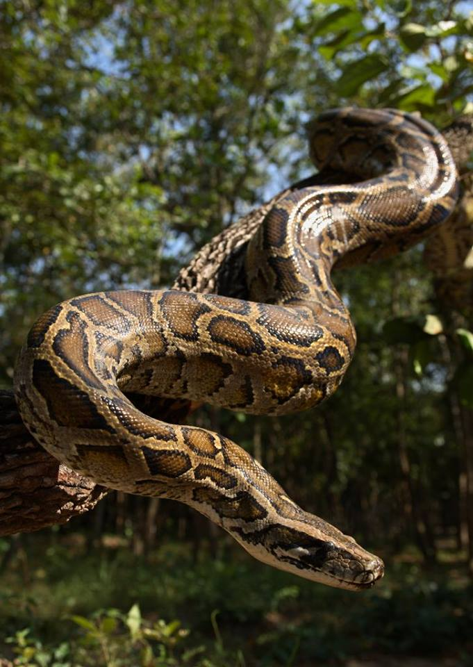 burmese pythons Did you know that Burmese Pythons are one of the biggest snakes in the world? Burmese Python