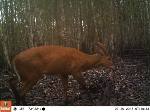 tigers cambodia Tiger Reintroduction Red Muntjac 600x450