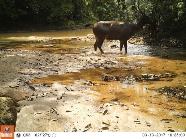 tigers cambodia Tiger Reintroduction Sambar Deer 600x450