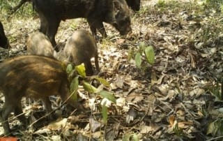 tigers cambodia Tiger Reintroduction Wild Boar 320x202