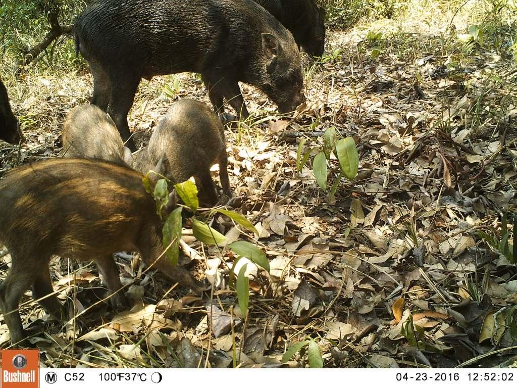 tigers cambodia Tiger Reintroduction Wild Boar