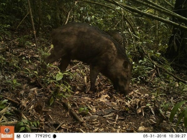 tigers cambodia Tiger Reintroduction Wild Forest Pig 600x450