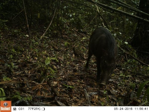 tigers cambodia Tiger Reintroduction Wild Pig 600x450
