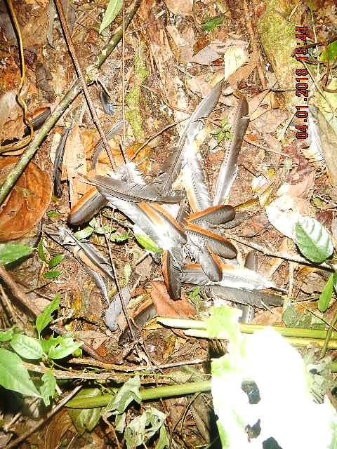 forest guards Hundreds of animal traps, 2 motorbikes confiscated for rose wood transportation fethers bird Cambodia