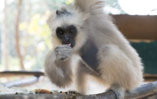 endangered gibbon Endangered gibbon rescued from the pet trade DSC02633 storm small 320x202