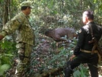 poaching Rangers combat poaching, human-wildlife conflict and the illegal pet trade Rangers rescue a sambar deer 200x150