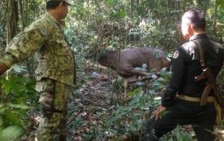 rangers rescue sambar Rangers rescue a sambar deer from a hunter's snare Rangers rescue a sambar deer 320x202