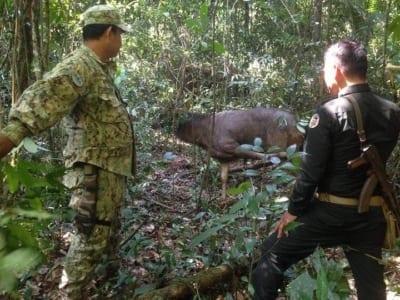 rangers rescue sambar Rangers rescue a sambar deer from a hunter's snare Rangers rescue a sambar deer 400x300 wildlife alliance Home Rangers rescue a sambar deer 400x300