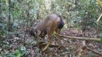 poaching Rangers combat poaching, human-wildlife conflict and the illegal pet trade Rangers rescue a sambar deer from snares 200x112