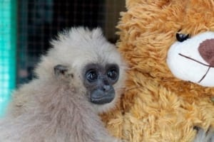 endangered gibbon Endangered gibbon rescued from the pet trade Rescued gibbons given teddy bear 300x200