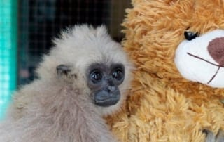 blog Blog Rescued gibbons given teddy bear 320x202