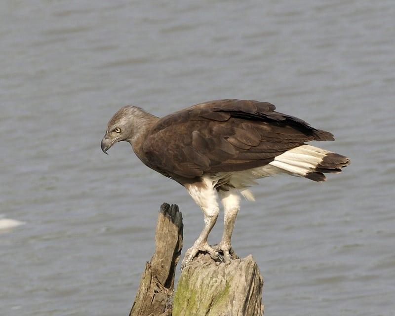 fish eagle Grey-headed fish eagle – Wildlife Alliance Rescue&Care Wildlife Alliance grey headet fish eagle