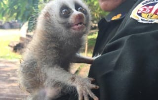 poaching Rangers combat poaching, human-wildlife conflict and the illegal pet trade slow loris pet trade 320x202