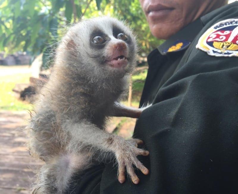 poaching Rangers combat poaching, human-wildlife conflict and the illegal pet trade slow loris pet trade 800x651