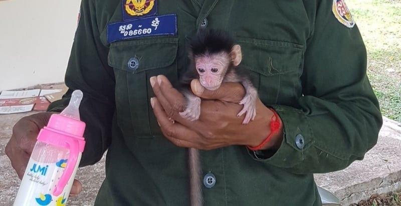 phnom tamao nursery Baby macaque brought to Phnom Tamao nursery Baby macaque brought to Phnom Tamao nursery 800x412