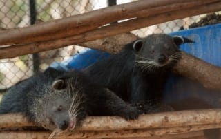 Binturongs Rescued from Illegal Wildlife Trade Released Into the Wild Binturongs Rescued from Illegal Wildlife Trade Released Into the Wild Binturong pair 320x202