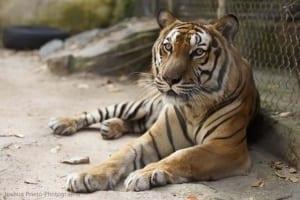 sponsor a tiger Sponsor a Tiger Doonow Sponsor a Tiger Joshua Prieto small 300x200