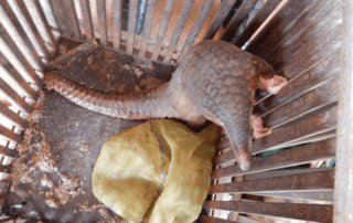 pangolin Investigation leads to the rescue and release of three pangolins rescued pangolin 320x202 community rangers CAPU rescued pangolin 320x202