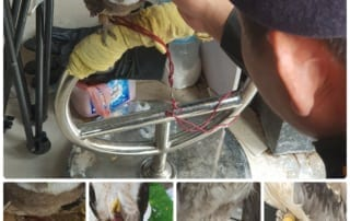 wrrt All birds were exposed in the sun and chained by their legs in order to attract a crowd Wild birds saved by Wildlife Rescue Team 320x202