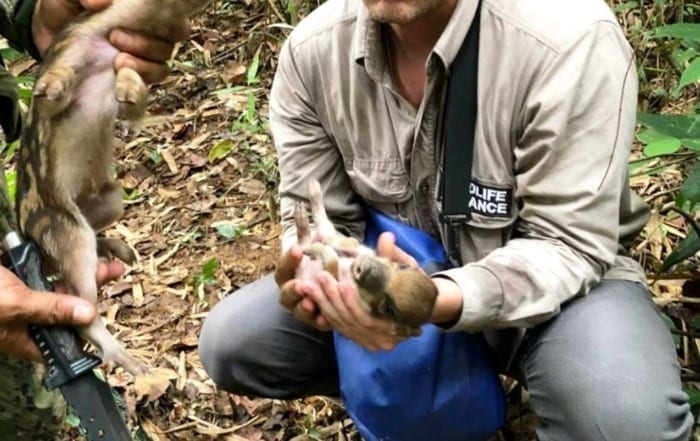 Sponsor a ranger station Wildlife Alliance rangers save wild pig Cambodia 700x441