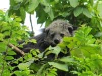 wildlife release Help us Buy Radio Collars to Release Rescued Wildlife in Cambodia released binturong 200x150